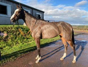Lazarina - racehorse for sale